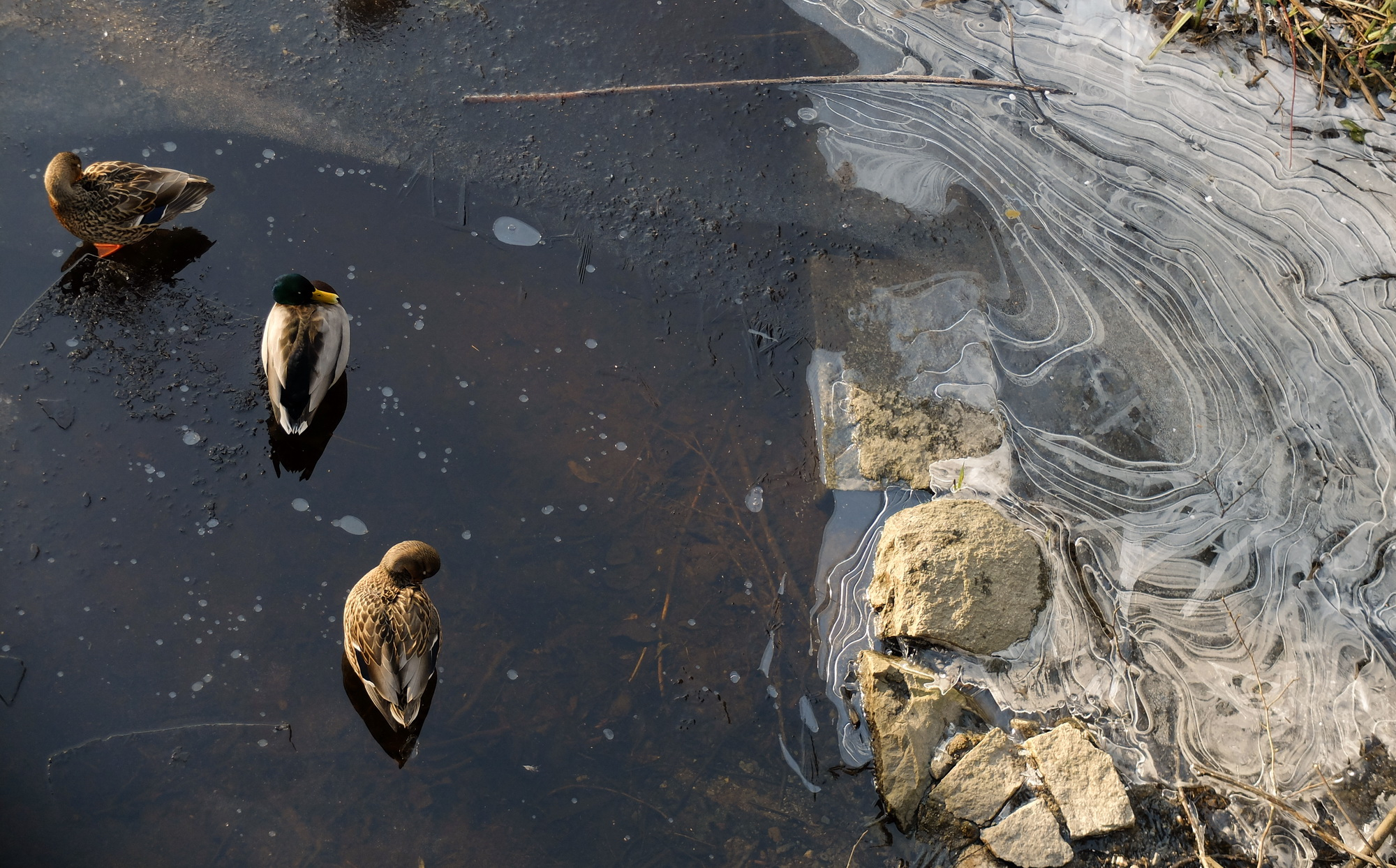 ducks-on-ice